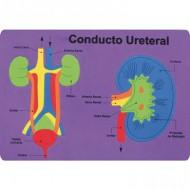Puzzle goma eva El Conducto Uretral