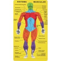 Puzzle goma eva El Sistema Muscular